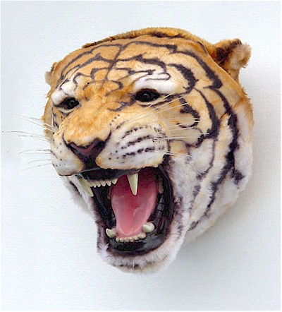 Tiger Head Discounted